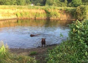 Gracie and Daisy taking the plunge on a local walk